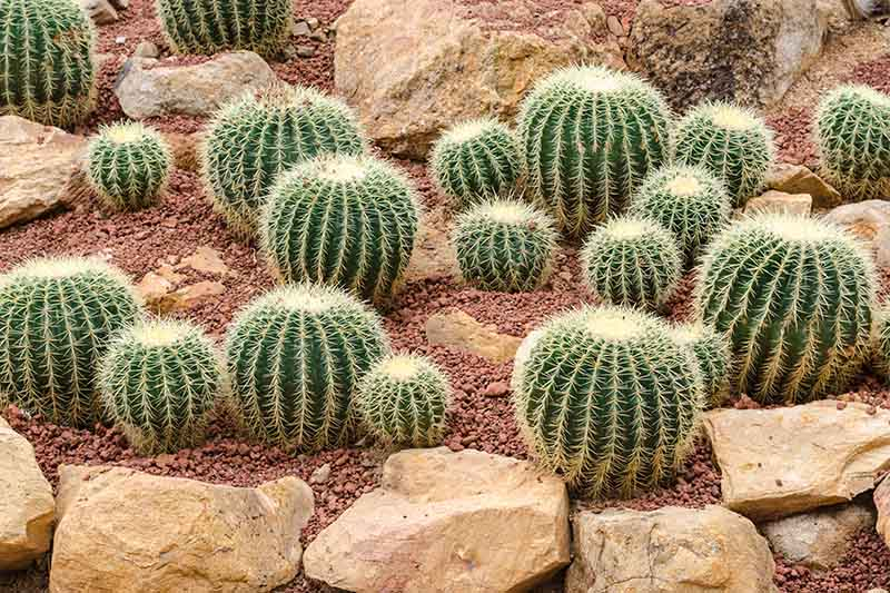A close up of a selection of barrel cactus plants growing in a rockery.