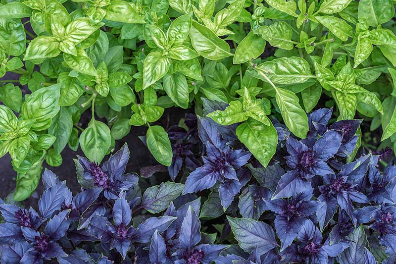 A close up of two different varieties of Ocimum basilicum, the top of the frame shows a green-leaved type, and at the bottom a cultivar with dark purple foliage.