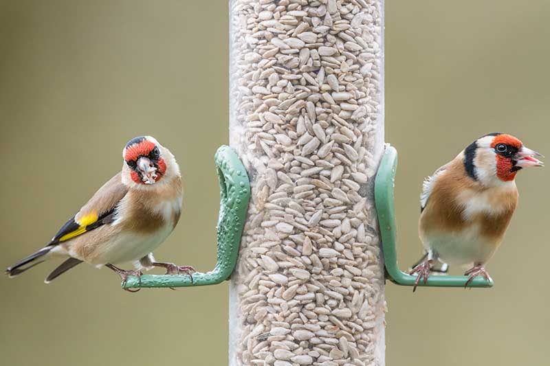A close up of two birds on a feeder containing seeds on a soft focus background.