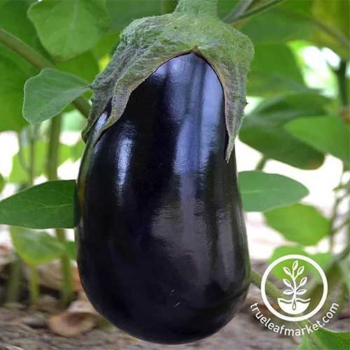 A close up of a 'Black Beauty' eggplant growing from the plant surrounded by foliage. To the bottom right of the frame is a white circular logo and text.