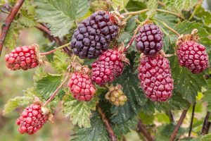 How to Grow and Care for Boysenberry Bushes