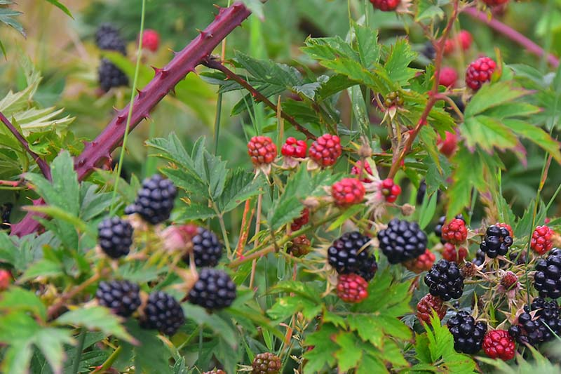 A close up of a blackberry shrub with spiky branches and dark red and black fruit, fading to soft focus in the background.