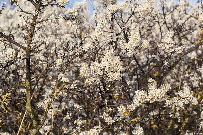 A close up of the spring bloom of the blackthorn bush in light sunshine.