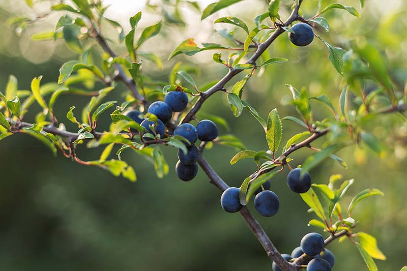 A close up of the blackthorn or sloe shrub showing the small blue berries in light sunshine.