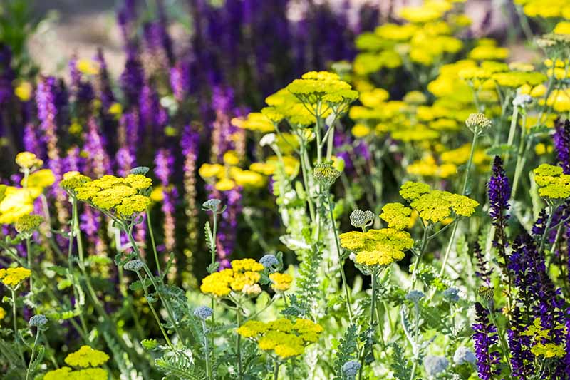 A close up of Achillea millefolium with bright yellow flowers, growing in the garden with purple flowers in soft focus in the background.