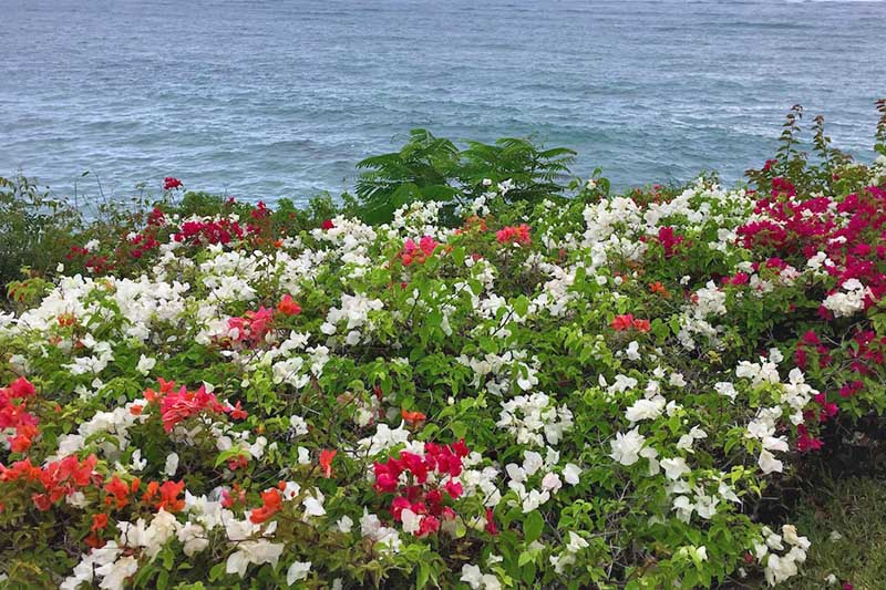 A close up of different colored bougainvillea growing at the perimeter of a property with the sea in the background.
