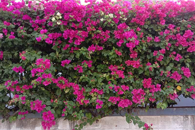 A close up of bougainvillea in full bloom growing on top of a low wall to provide a spiky barrier to entry.