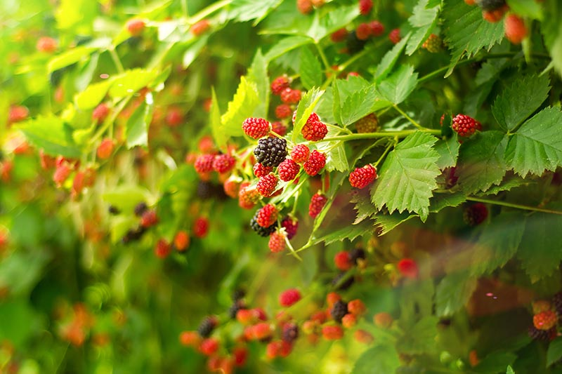 A close up of red and black berries ripening in the autumn sunlight, surrounded by foliage, on a soft focus background.