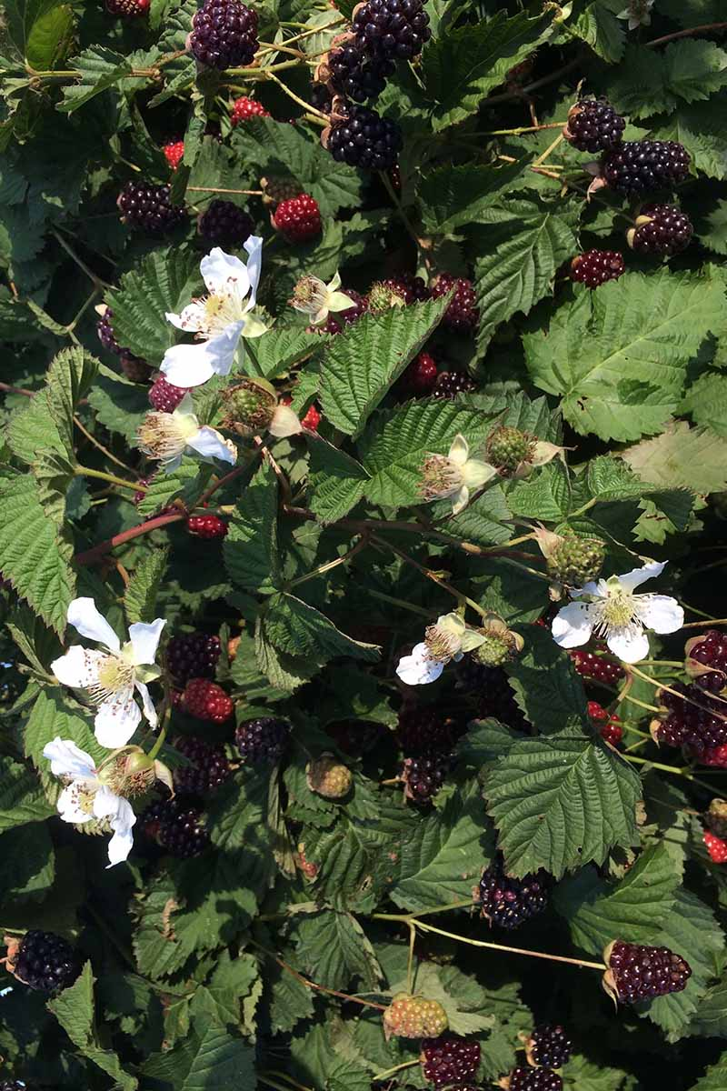 A vertical close up of a large boysenberry plant, with ripe fruit and pretty white flowers, contrasting with the dark green foliage, pictured in light sunshine.