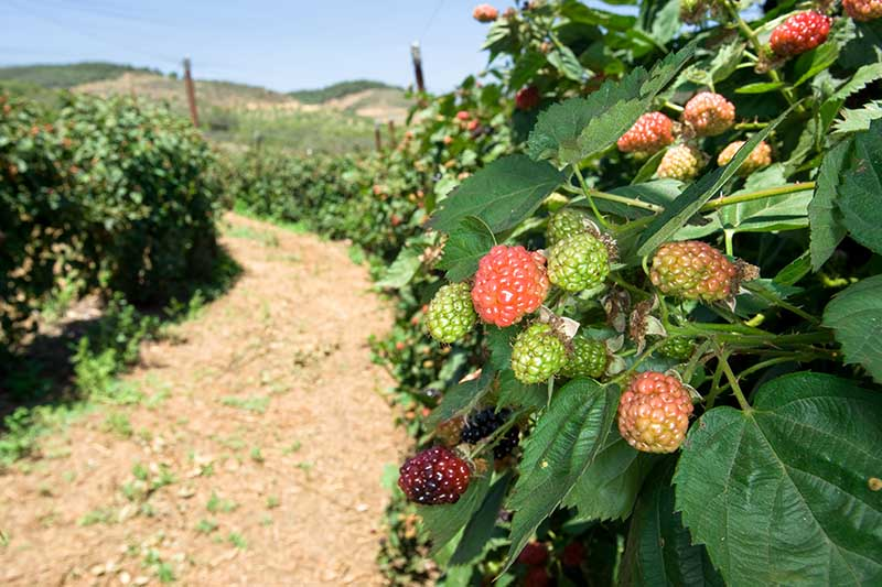 A close up of a large boysenberry plantation with ripening fruits, next to a dirt track, pictured in bright sunshine with blue sky and hills in the background.