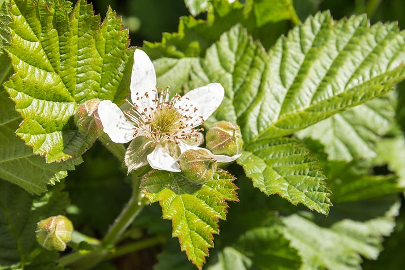 A close up of a white flower of the boysenberry shrub, pictured in bright sunshine, surrounded by foliage on a dark soft focus background.