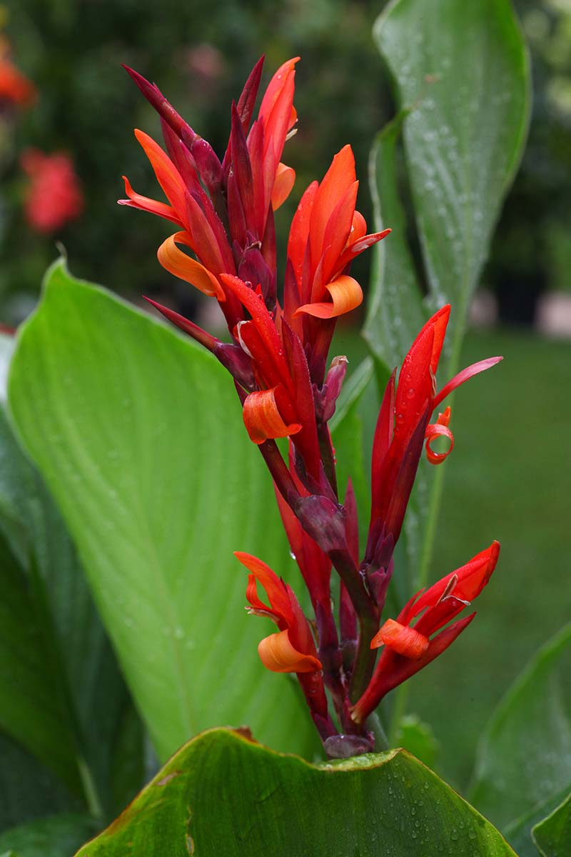 A close up vertical picture of a bright red canna lily flower, surrounded by green foliage, fading to soft focus in the background.