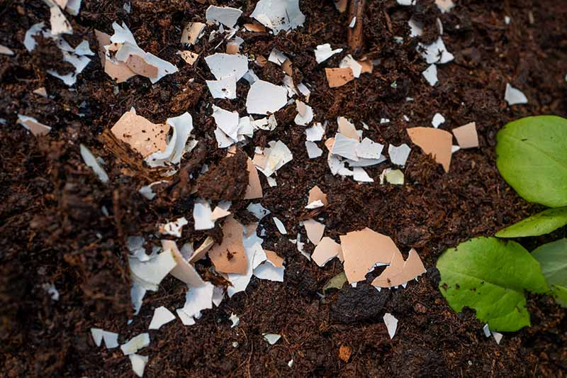A close up of dark, rich garden soil with shell fragments from eggs dug into it, pictured with a small green plant to the right of the frame, fading to soft focus in the background.