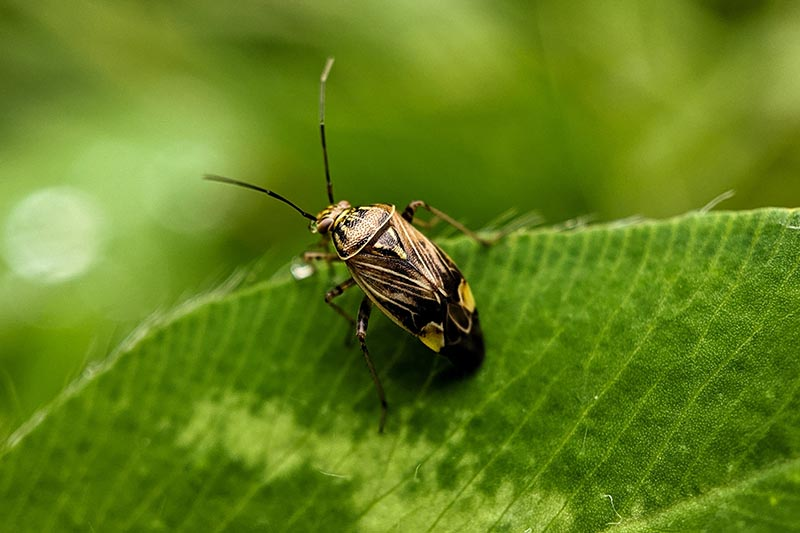 A close up of a tarnished plant bug, Lygus lineolaris feeding on the foliage of a plant, on a soft focus background.