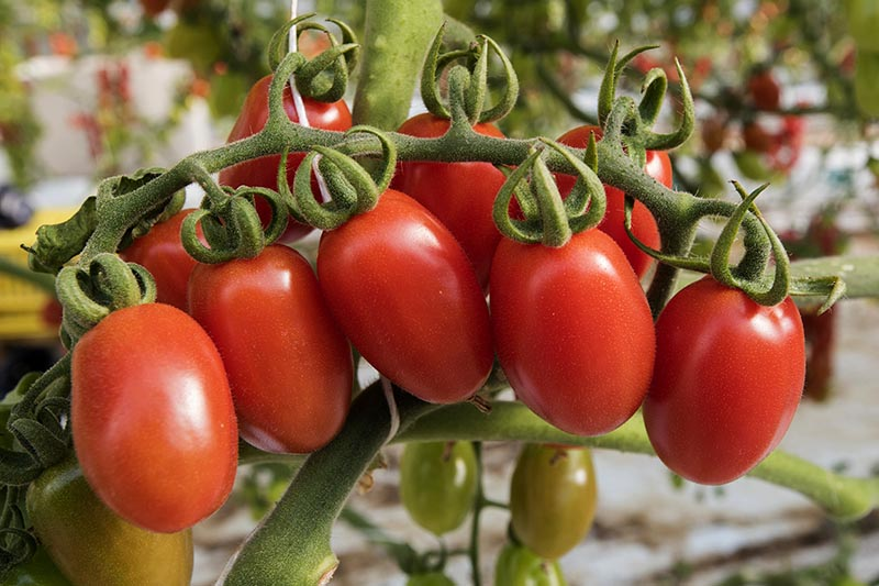 A close up of a bunch of ripe cherry tomatoes on the vine, ready for harvest on a soft focus background.