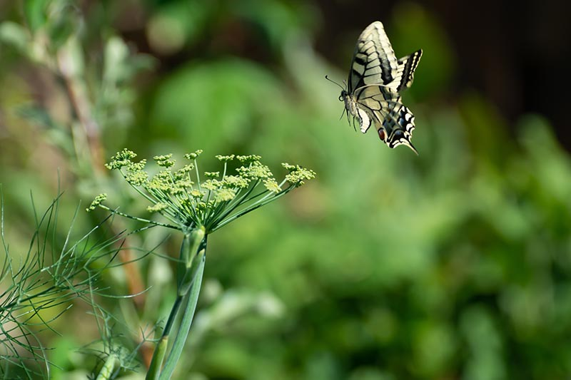 A close up of a swallowtail butterfly landing on a dill weed flower head, pictured on a soft focus background.