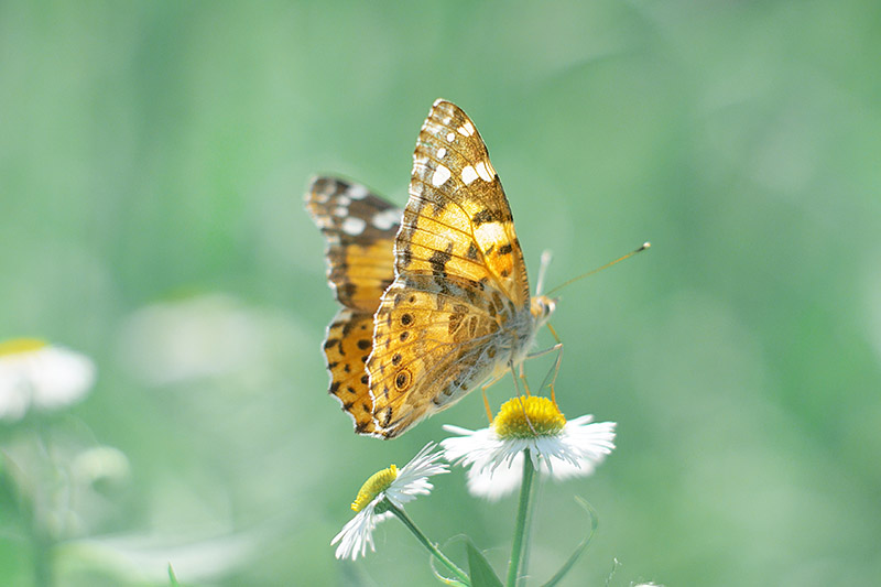A close up of a butterfly landing on a white flower with a yellow center, pictured in light sunshine on a green soft focus background.