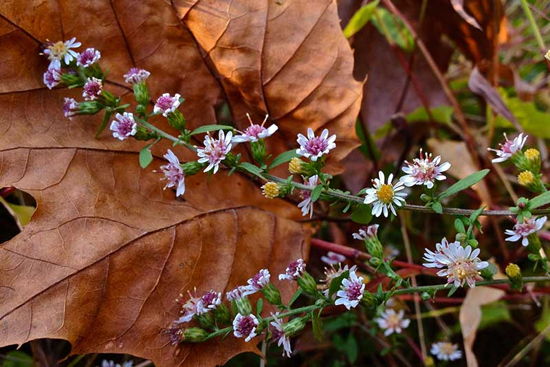 A close up of delicate calico aster flowers with a large brown leaf in the background.