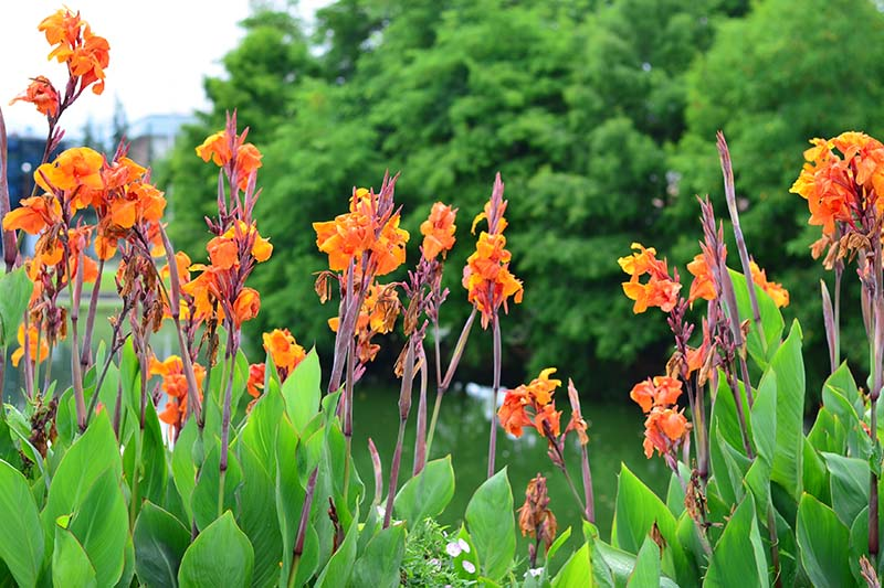 A close up of canna lilies growing on a riverside, with bright orange flowers, water in the background and large trees in soft focus.