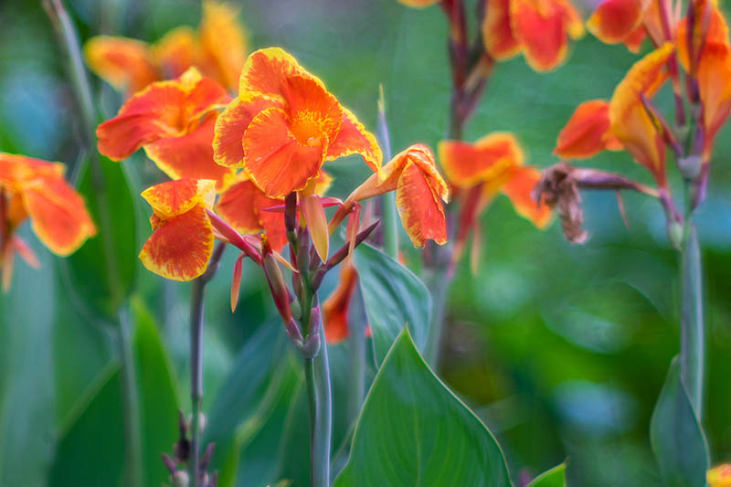 A close up of red and orange bicolored canna lilies growing in the garden, the brightly colored petals contrasting with the dark green foliage, pictured on a soft focus background.