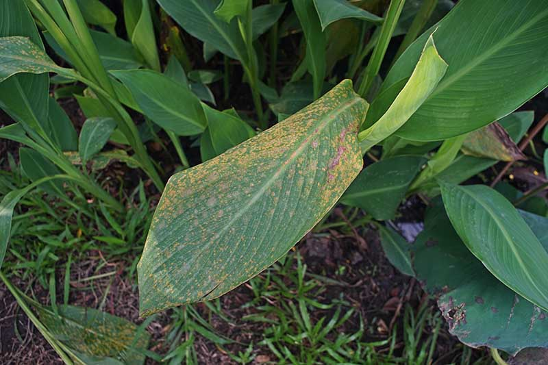 A close up of a leaf suffering from a fungal disease called rust, showing orange spots of spores covering the leaf. In the background is healthy foliage and grass.