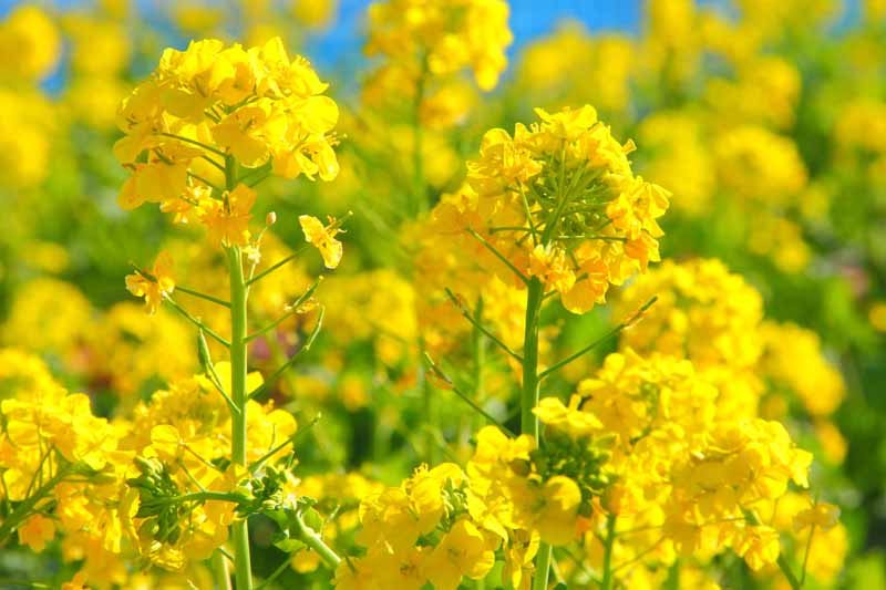A close up horizontal image of bright yellow canola flowers pictured in bright sunshine on a soft focus background.