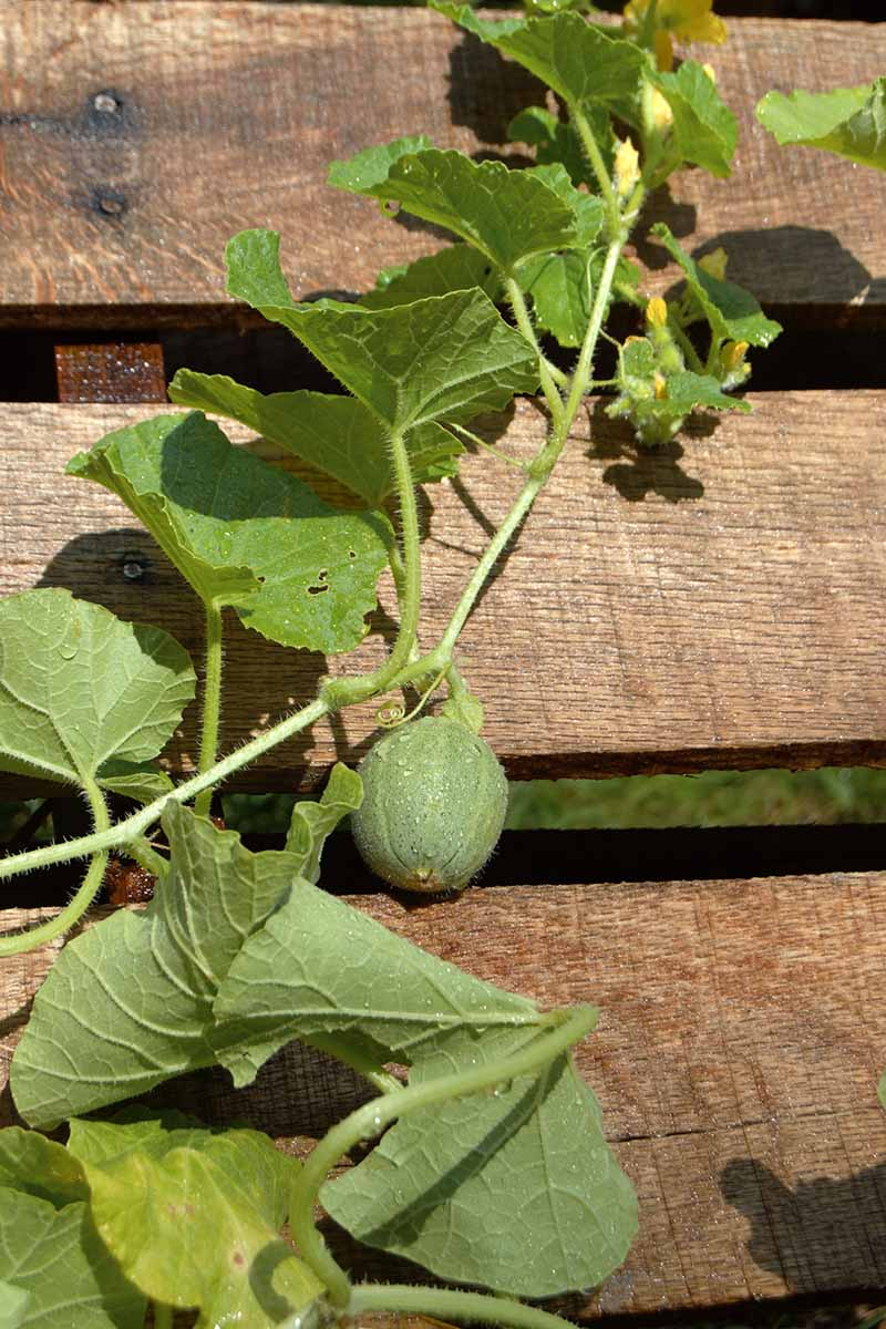 A close up vertical picture of an immature melon plant growing up a wooden fence, pictured in bright sunshine.