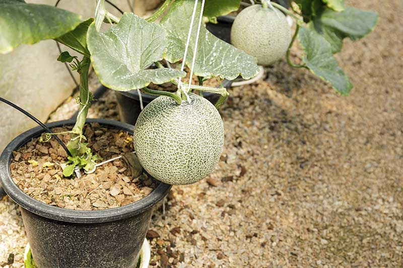 A close up of a ripe muskmelon growing in a black plastic container and supported with string to prevent the fruit from dropping prematurely.