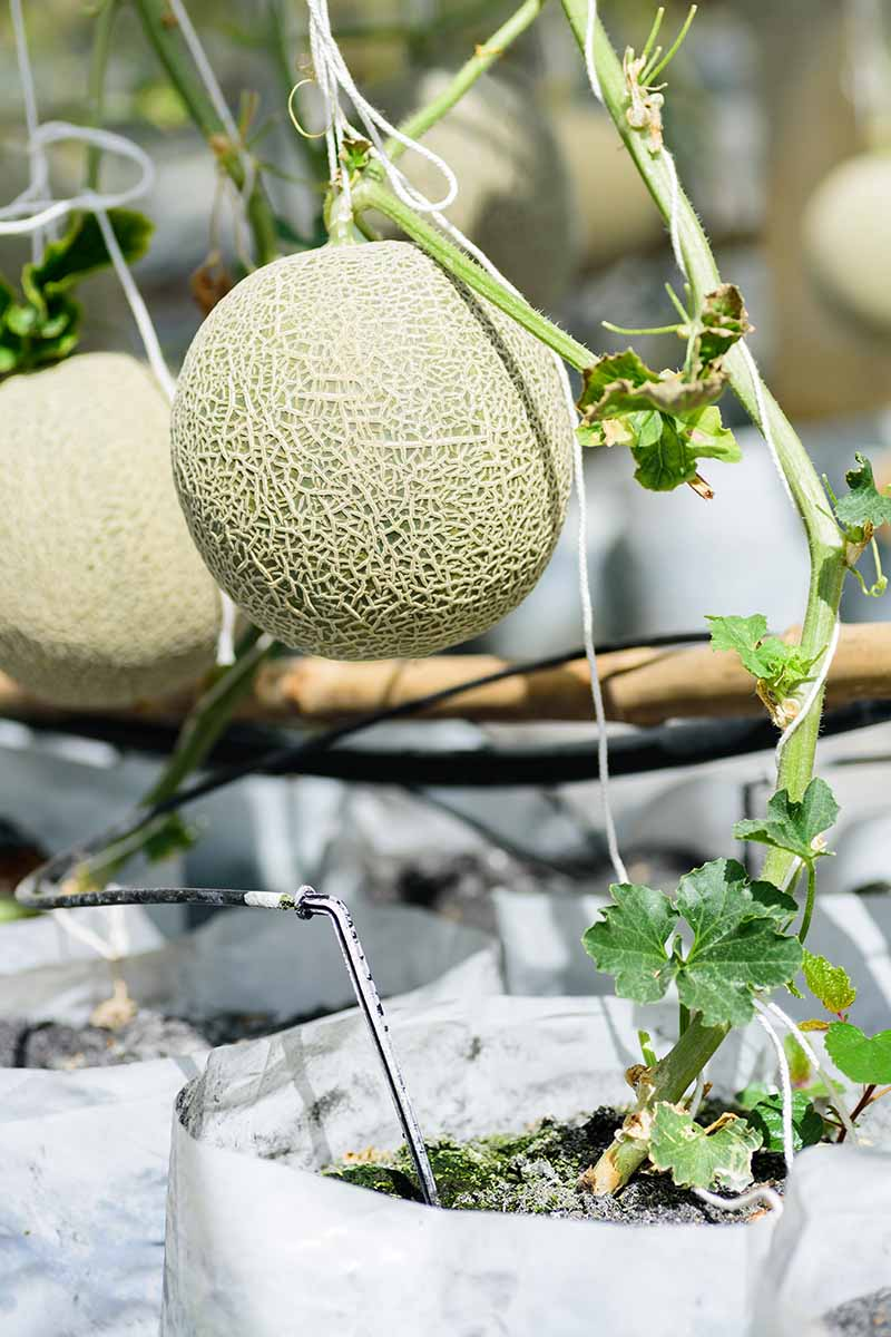 A close up vertical picture of a small cantaloupe melon growing in a white container in bright sunshine.