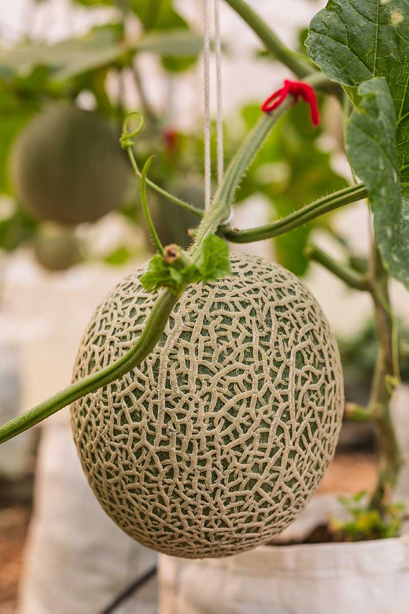 "A vertical picture of a Cucumis melo hanging from the vine, with characteristic ""netted"" rind, pictured on a soft focus background."