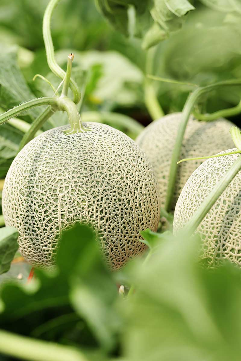 When And How To Harvest Cantaloupe Gardener S Path
