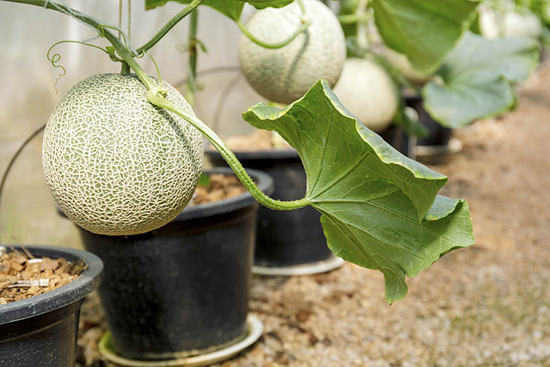 A close up of a row of black plastic pots growing cantaloupe melons indoors in a greenhouse, fading to soft focus in the background.