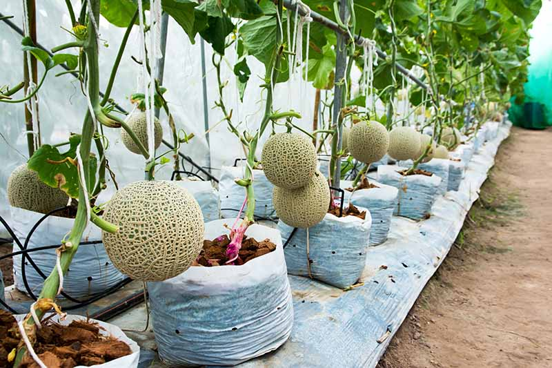 A close up of a row of cantaloupe melons ripening on the vine, growing in white plastic bags indoors in a greenhouse with the fruit hanging from fixed supports.