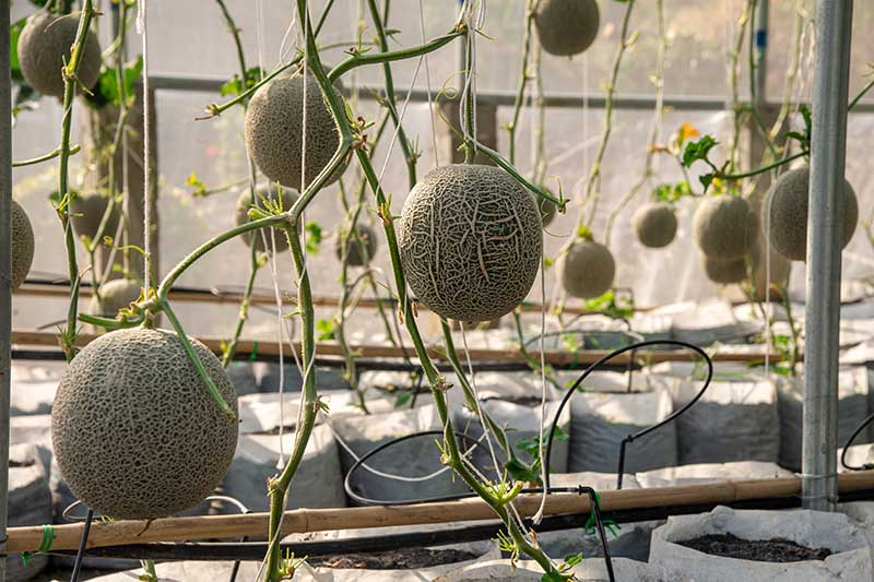 A close up of Cucumis melo growing in containers in a greenhouse, with the fruits hanging from the vines, supported by string.