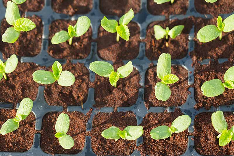 A close up top down picture of little green seedlings growing in flats.