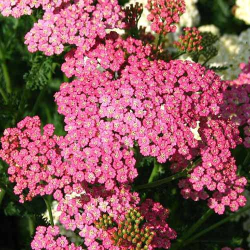 A close up of Achillea millefolium 'Cerise Queen' with bright pink flowers, pictured in bright sunshine on a soft focus background.