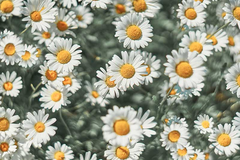A close up of white flowers with yellow centers, pictured in bright sunshine, fading to soft focus in the background.