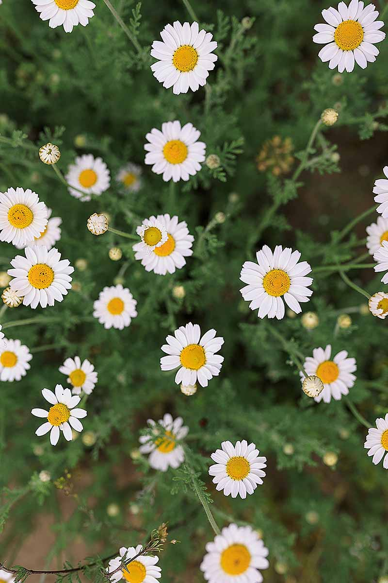 A close up vertical picture of the pretty, white, daisy-like flowers of Matricaria recutita, growing in the garden.