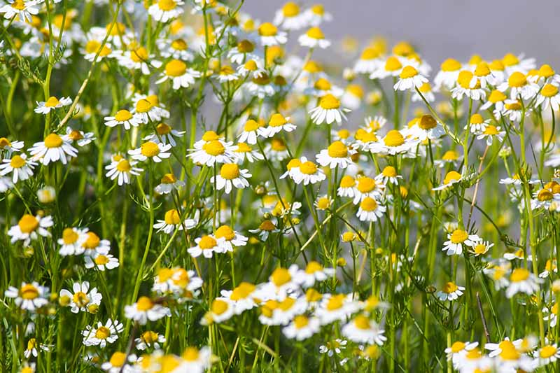A close up of white and yellow flowers growing in the summer garden on a soft focus background.