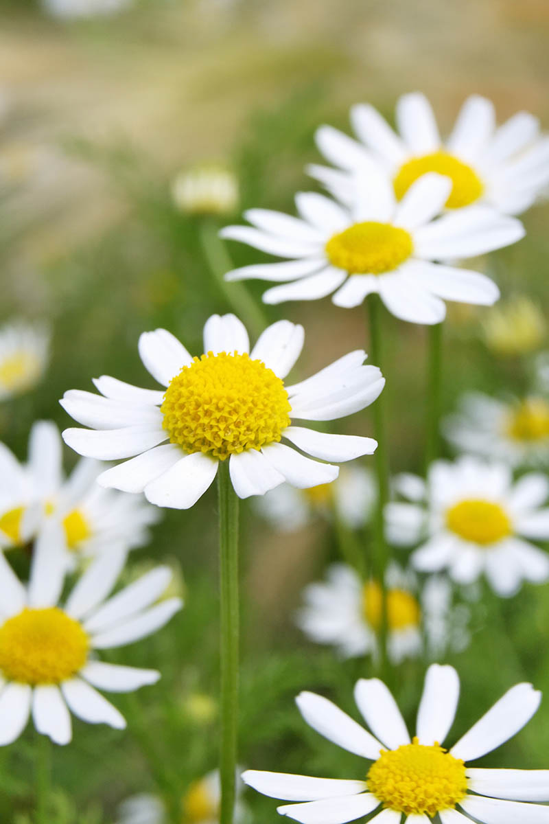 A close up vertical picture of white daisy-like Matricaria recutita flowers on a soft focus background.