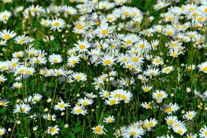 What's the Difference Between English and German Chamomile?