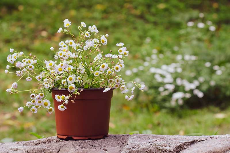 A close up of a chamomile plant in a small plastic pot, set on a stone surface, with a garden scene in soft focus in the background.