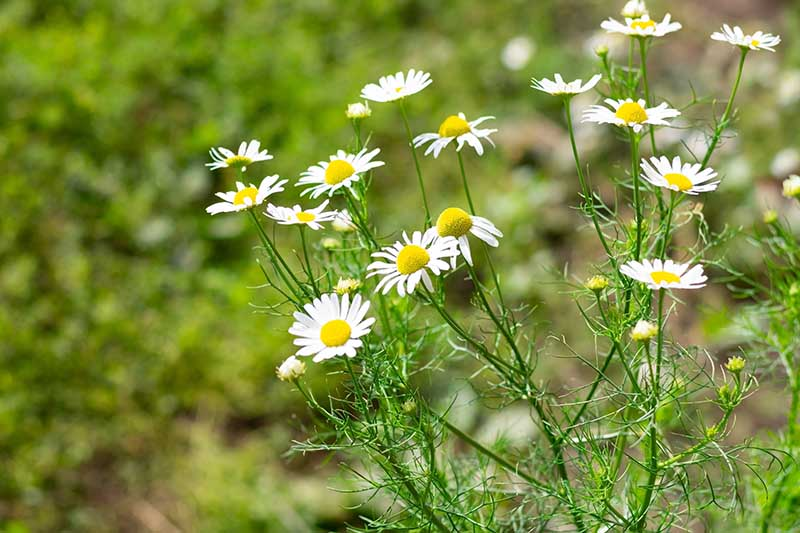 A close up of the delicate, daisy-like white and yellow chamomile flowers, growing in the garden on a soft focus background.