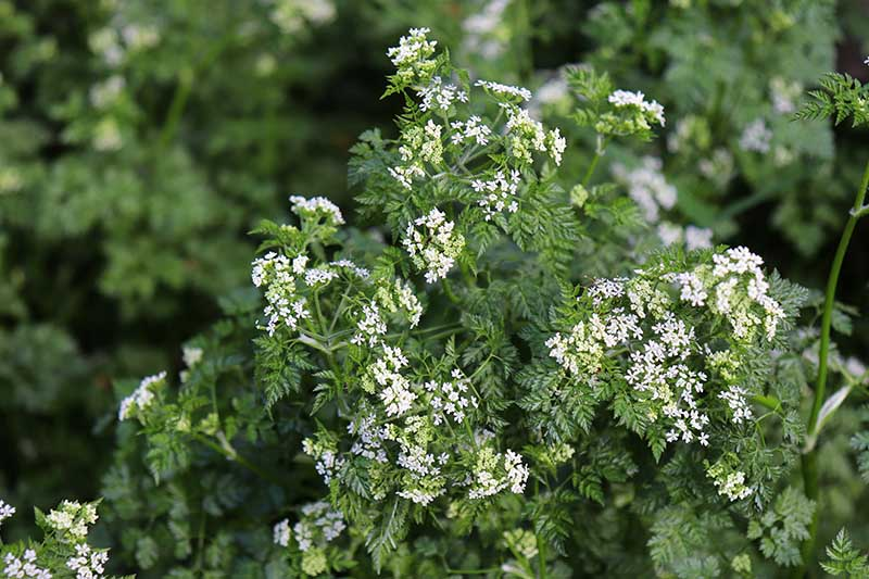 A close up of the herb chervil, growing in the garden with small white flowers and deep green foliage, on a soft focus background.