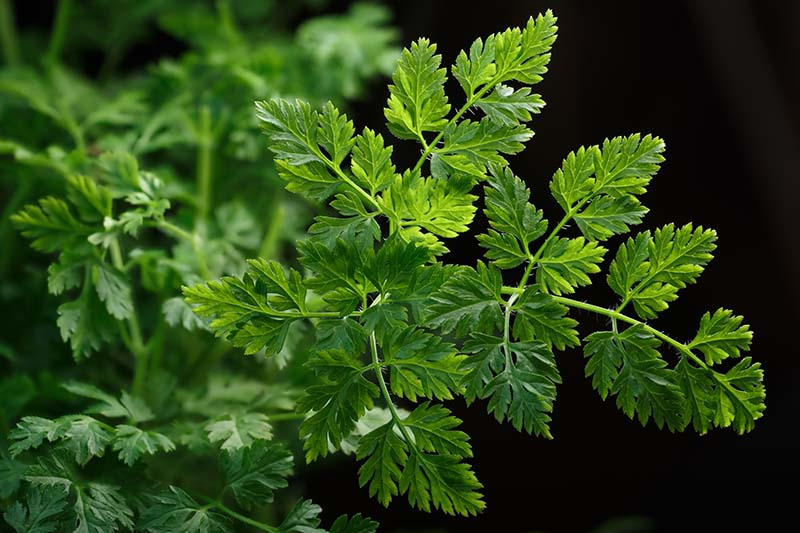A close up of the foliage of Anthriscus cerefolium, common chervil, on a dark background.