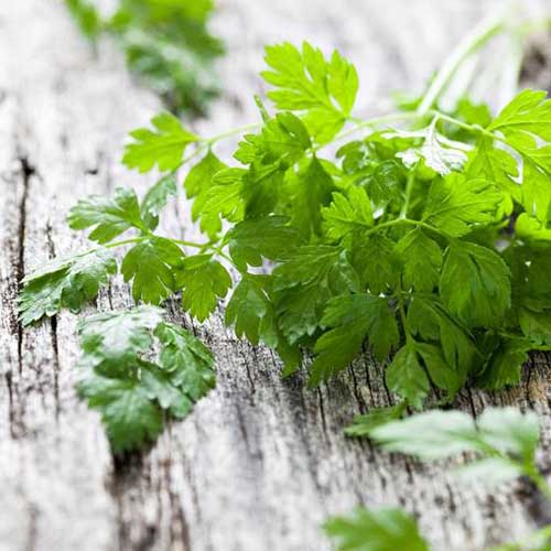 A close up of common chervil, freshly harvested and set on a wooden surface.