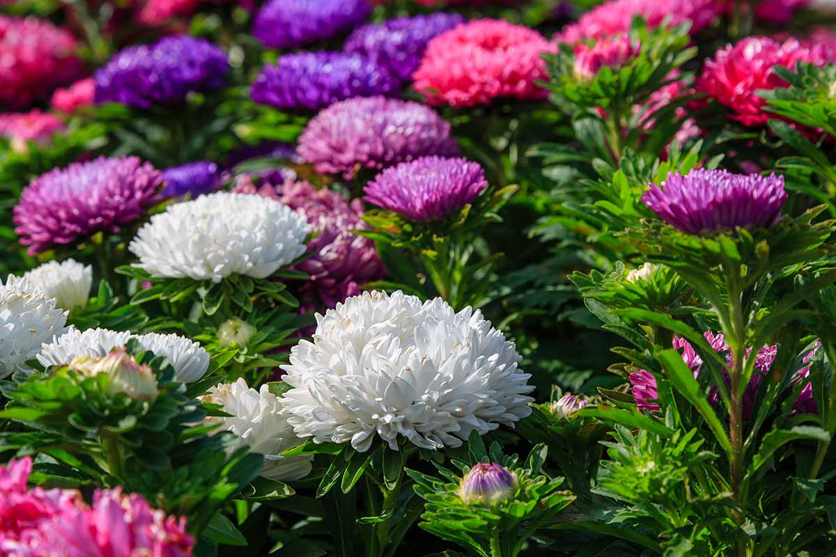 A close up of China asters growing in the sunshine in the late summer garden in a variety of colors.