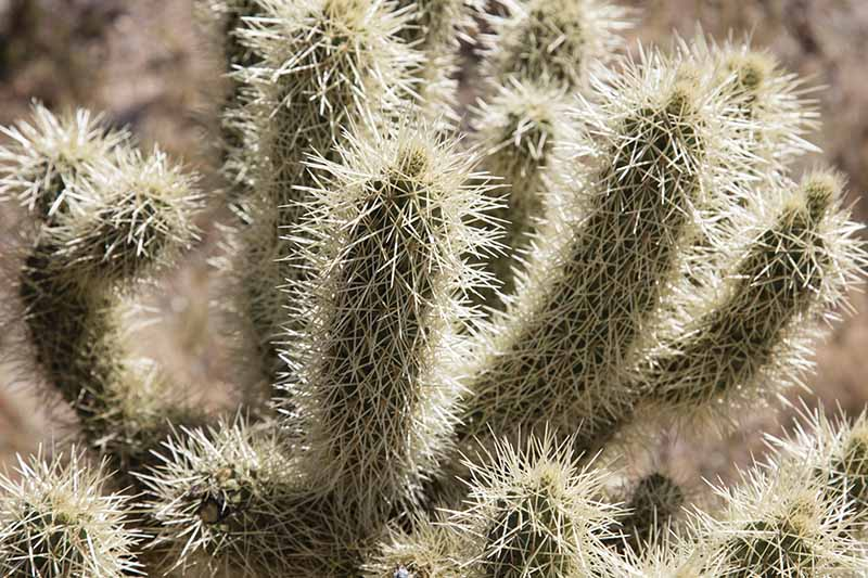 A close up of the spines of a jumping cholla cactus in bright sunshine.