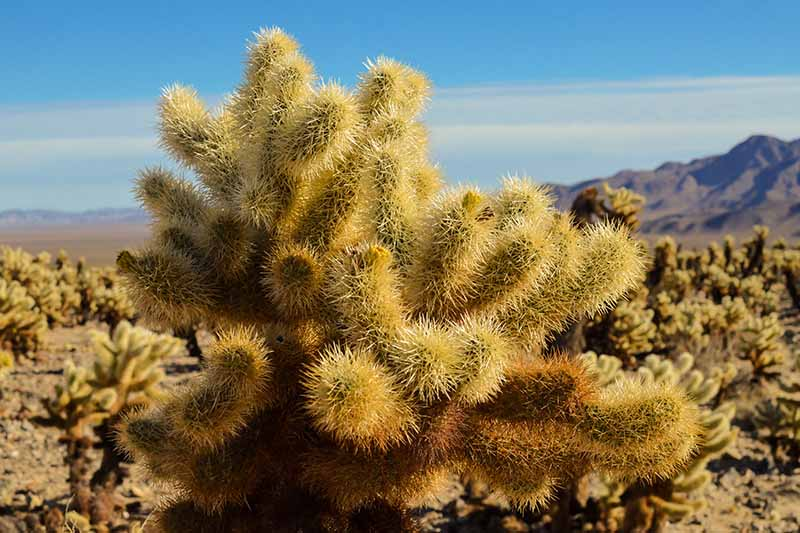 A close up of a cholla cactus in the desert in light sunshine.