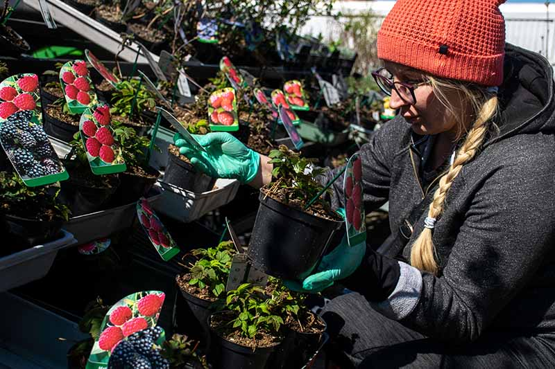 A close up of a woman inspecting different varieties of berry plants at an outdoor market.
